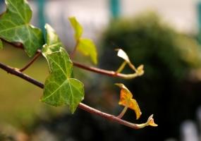 怎样养护盆栽常春藤