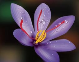 番红花有哪些特性与栽培种类