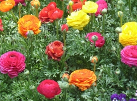 怎样使花毛茛在春节开花