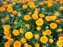 怎样才能使金盏菊四季有花