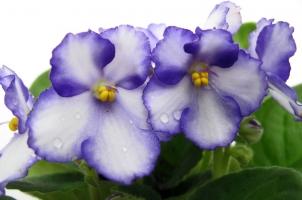 怎样延长非洲紫罗兰花期