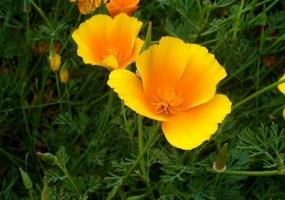 花菱草有何特性,应怎样栽培