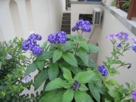 怎样使香水草叶茂花繁香气浓溢