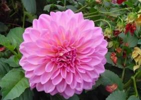 怎样使大丽花优质品种花色不变异