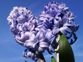 怎样让风信子提早开花