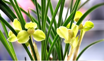 怎样对兰花叶面进行施肥