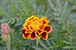 孔雀草为何夏季生长不良,开花减少