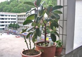 观叶植物应如何修剪整形