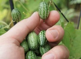 世界最小的西瓜:您见过吗?