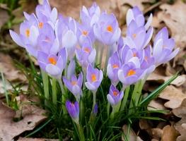 最贵的植物香料:番红花