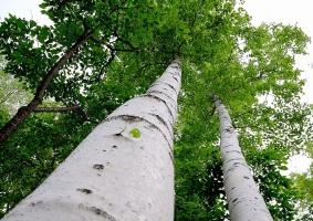 树干最美的树:白桦树