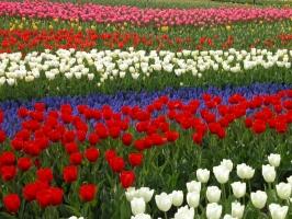 分布最广泛的原生种郁金香