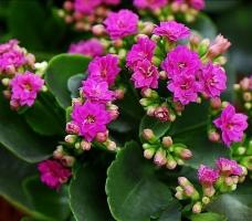 长寿花的养殖方法教学_(总结篇)_植物之家