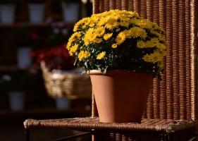盆花秋季管理有哪些要点