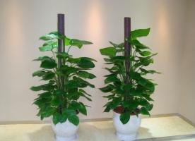 生长在图腾柱上的绿萝怎样整形