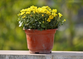 阳台上宜种什么花