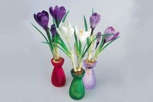 怎样使水养番红花在春节开花