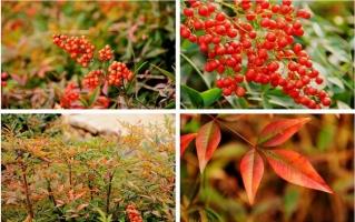 常绿灌木有哪些:这21种你见过吗