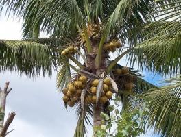 椰子图片附介绍:相册的图片免费下载