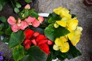 丽格海棠花期:4~6月和9~12月