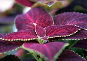 彩叶草有毒吗:无毒,可放心种植