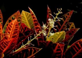 变叶木有毒吗:汁液有毒,误食可致腹痛腹泻