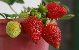 草莓的养殖方法和注意事项:喜温凉气候,喜光