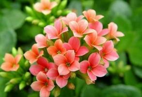 长寿花有毒吗:无毒,是馈赠亲人或朋友的理想礼物