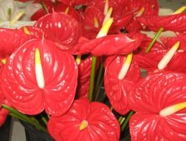 红掌花的养殖方法和注意事项:喜湿润环境,忌日光直射