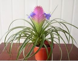 鐵蘭花的養殖方法和注意事項:喜排水性良好的壤土