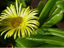 佛手花的养殖方法和注意事项:喜疏松,排水良好的酸性土壤