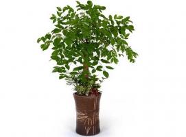 幸福树有毒吗