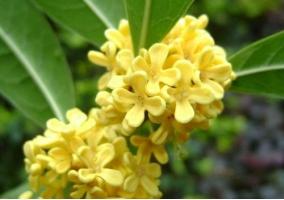 桂花树的养殖方法和注意事项:积水会烂根或叶片脱落