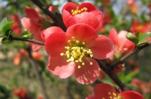 海棠有毒吗:苹果属海棠和木瓜属海棠都无毒