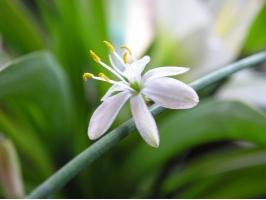 吊蘭花的養殖方法和注意事項:過干燥葉片會枯焦