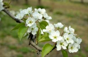 梨花的花期:花期短,梨花相当好看