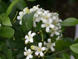 七里香什么时候播种:深秋,早春季,冬季播种都可