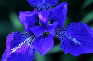 鸢尾花花期:花开到花落时间长