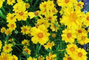 金鸡菊什么时候播种:一般在8月播种繁殖