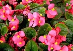 四季海棠花的养殖方法和注意事项:不耐寒,怕酷热