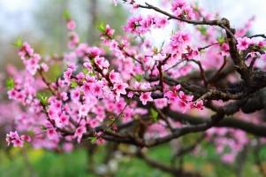 桃花有毒吗:无毒,但要注意花粉过敏