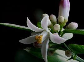 檸檬花的養殖方法和注意事項:陽光過分強烈生長不良
