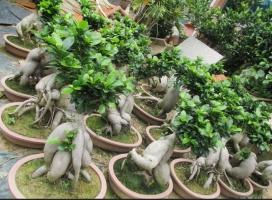 小叶榕的养殖方法和注意事项:光照不足叶片微脱落