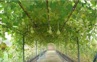葫芦什么时候种植:谷雨时节之前种植