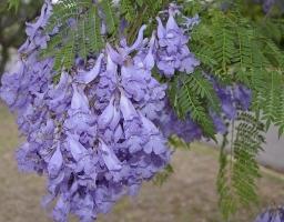 蓝花楹花期:花期长,雅而不俗