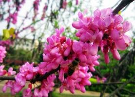 紫荆花期:花期3~4月