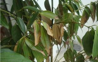 平安树叶子下垂:5大因素影响叶子下垂