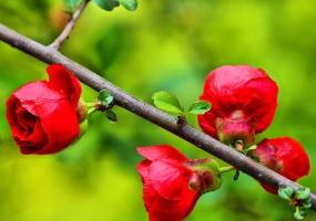 贴梗海棠繁殖_贴梗海棠花的修剪图解,四个修剪要点让其花开不断
