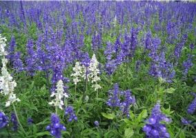 鼠尾草花期:花期长,花香迷人