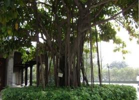 榕树的养殖方法和注意事项:宜放置通光透光的地方